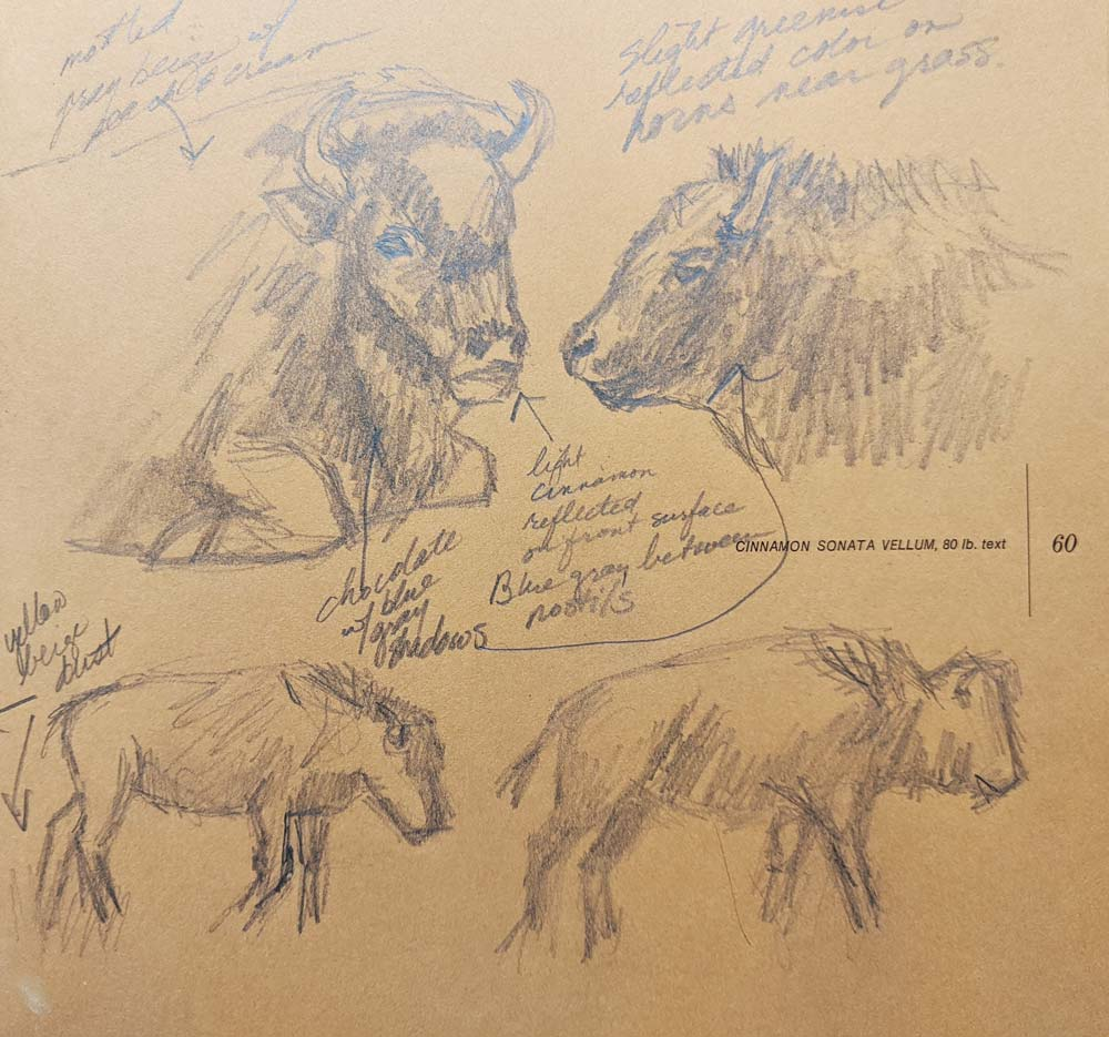 Anatomical pastel sketches of a buffalo.