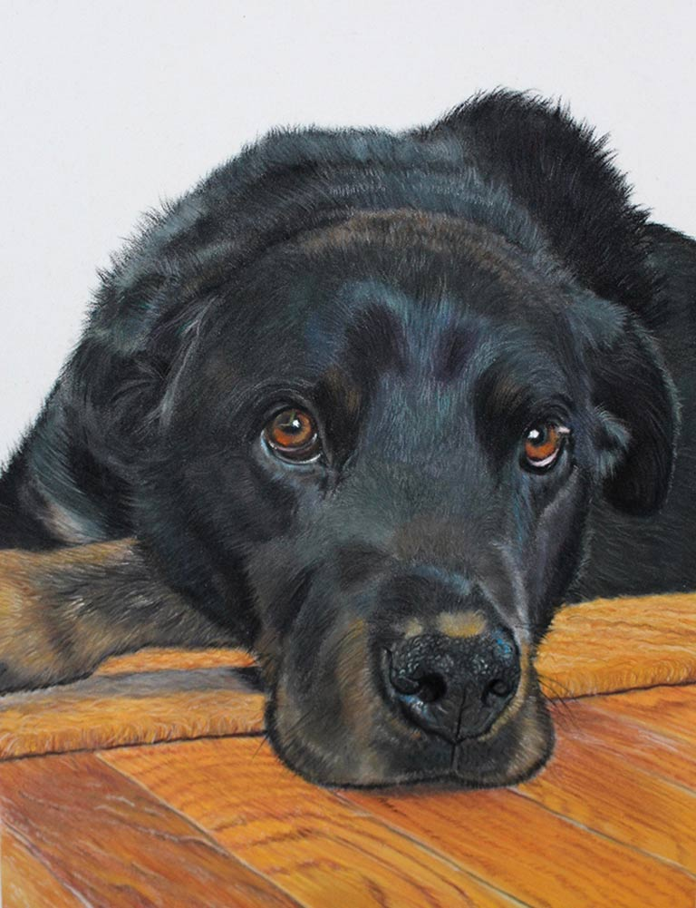Black Labrador portrait in pastel.