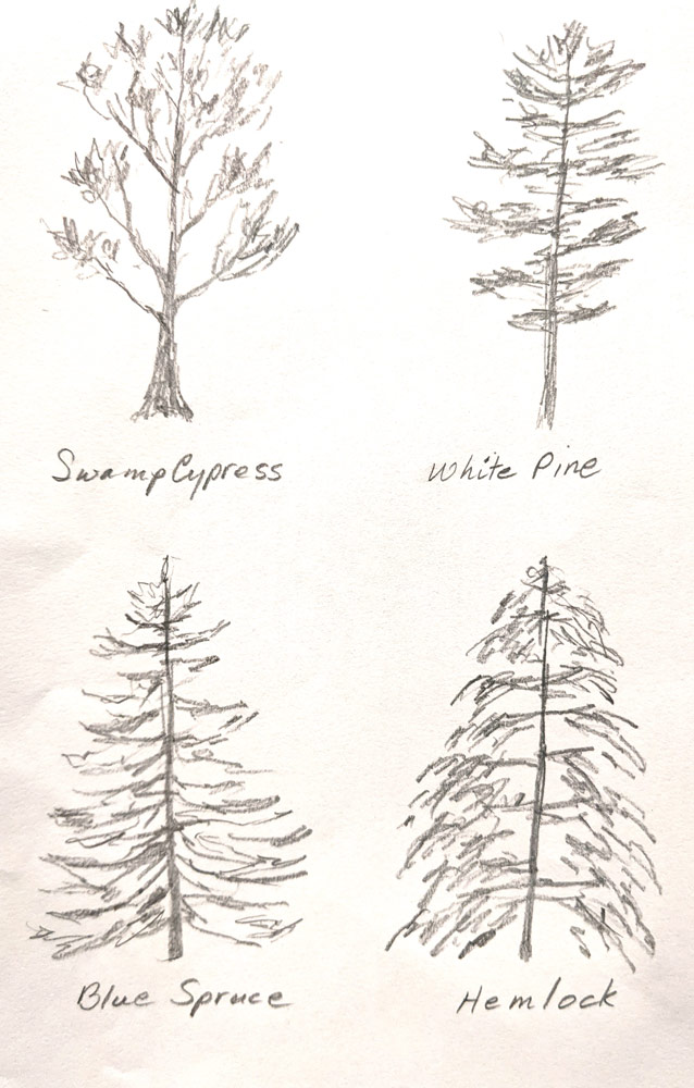 Conifer sketches by Tracey Maras